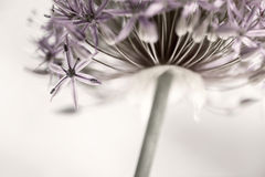 Flowering onion flower Stock Photography