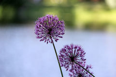 Flowering Onion Royalty Free Stock Photography