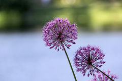 Flowering Onion Royalty Free Stock Image
