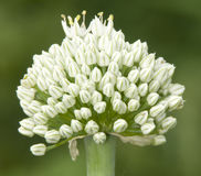Flowering onion Stock Photos
