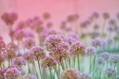 Flowering Onion Stock Image