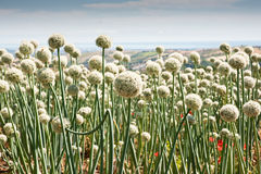 Flowering onionfield in Central Italy Stock Photos