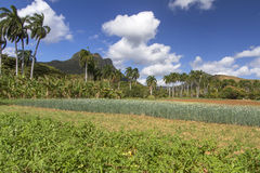 Flowering onionfield, Cuba Royalty Free Stock Photography
