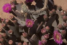 Flowering Opuntia basilaris cactus plant in the desert. A close up image of a flowering Opuntia basilaris cactus plant.  This cactus is native to the Mojave Royalty Free Stock Photos