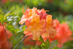 Flowering orange azalea Stock Images