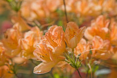 Flowering orange azalea Stock Image