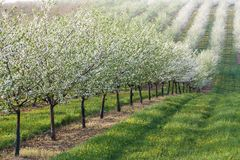 Flowering orchard Royalty Free Stock Photography