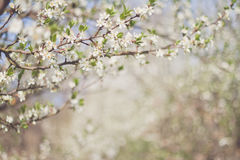 Flowering orchard Stock Images