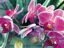 Flowering Orchid falenopsis prepared for sale at shop stock images