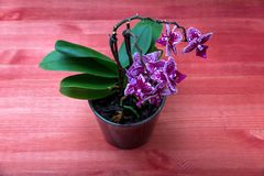 Flowering orchid on a wooden table stock photo