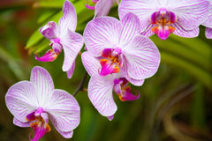 Flowering orchids Royalty Free Stock Images