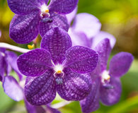 Flowering orchids Stock Photography