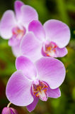 Flowering orchids Stock Images