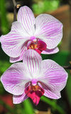 Flowering orchids in Botanical Garden Stock Image