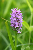 Flowering orchids. This plant blooms in spring and rare. Grows in open and sunny places, meadows. He leaves mottled green with dark spots. From this happened his Stock Photography