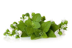 Flowering Oregano  Stock Photos