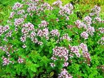 Flowering oregano. Origanum vulgare flowers. stock photo