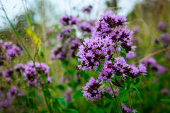 Flowering Oregano (Origanum vulgare) on a wild meadow Stock Photography
