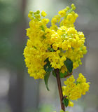 Flowering Oregon Grape Royalty Free Stock Images