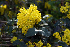 Flowering Oregon Grape Stock Photos