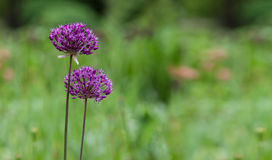 Flowering ornamental onions in the garden. Allium, decorative onion bloom. Hats lilac flowers Stock Images