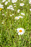 Flowering oxeye daisy blooms between grasses from close. Closeup of yellow hearted pure white flowering oxeye daisy or Leucanthemum vulgare plants between Royalty Free Stock Photography