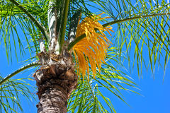 A flowering palm tree. Royalty Free Stock Photography
