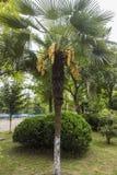 Flowering palm tree. A flowering palm tree in Wudingmen Park, Nanjing, Jiangsu royalty free stock images