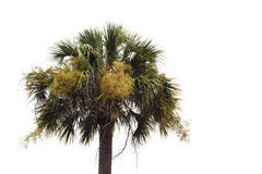 Flowering Palmetto Tree Against A White Background. A single unkept flowering Palmetto tree (Sabal palmetto) against a white background. This tree is the Stock Photos