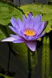 Flowering  pamplemousses Stock Photo