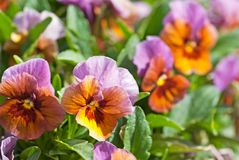 Flowering pansy flowers in flowerbed in spring Stock Photo