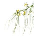 Flowering Parkinsonia aculeata Stock Image