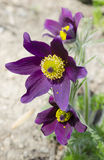 Flowering pasque flowers (Pulsatilla) Royalty Free Stock Image