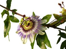 Passionflower. A flowering passionflower with a white background stock photo