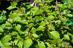 Flowering patchouli plant in sunshine. A large patchouli plant filled the image with green leaves and red flowers Stock Images
