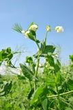 Flowering pea field Stock Photos