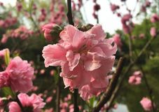 Flowering peach by the lake royalty free stock photos