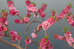 Flowering peach royalty free stock photo