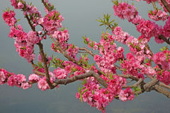 Flowering peach. Blossom on the tree royalty free stock photo