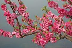 Flowering peach royalty free stock photo
