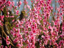 Flowering peach branches Royalty Free Stock Image