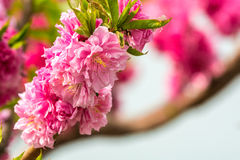 Flowering peach Royalty Free Stock Image