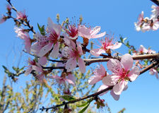 Flowering peach tree Stock Photography