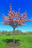 Flowering Peach Tree. On Blue Sky background in Spring stock image