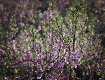 Flowering peach trees Stock Images