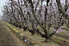 Flowering peach trees. Stock Photography