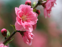 Flowering peachs Stock Images