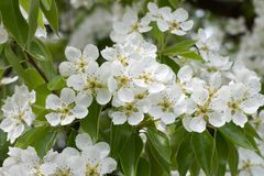 Flowering pear. Flowering branch of pear with white flowers Royalty Free Stock Photography
