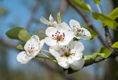 Flowering of pear Royalty Free Stock Photos
