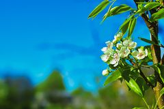 Flowering pear against the blue sky. soft focus. Pear. Flowering pears on a blue sky. Background with a spring background. copy. Space stock photo